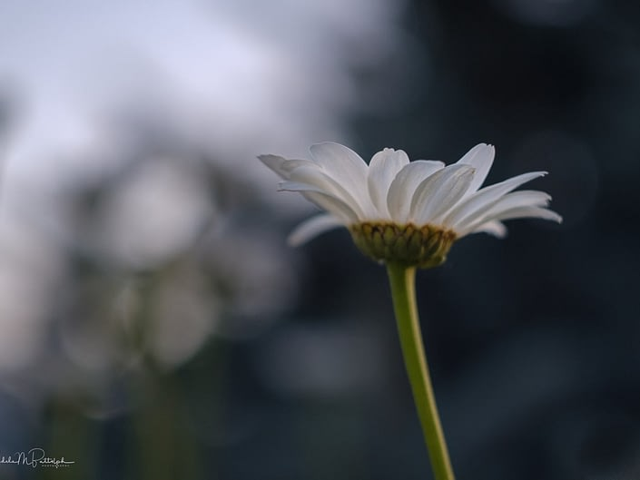 A single Shasta daisy photograped against a blurred background.