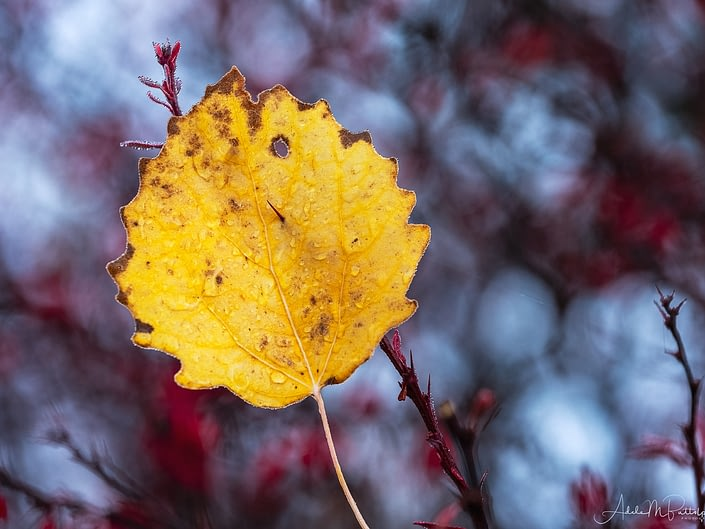 A dew-covered golden aspen leaf is suspended on a red barberry during autumn.
