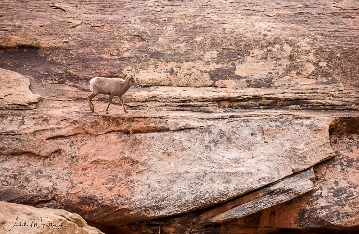 Ram on rock shelf, White Rim Road, Utah