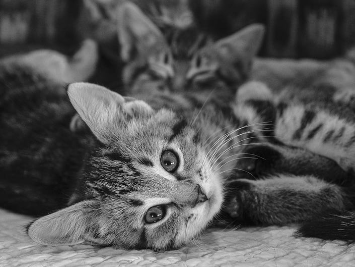 Black and white photo of three kittens in a chair. The one in front is looking directly at the camera.