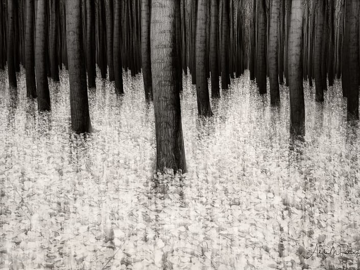 Impressionistic black and white photograph of autumn in the poplar trees at Boardman Tree Farm, Boardman, Oregon. © Adele M. Buttolph, © Adele Buttolph. adelembuttolphgallery, adelembuttolphphotography