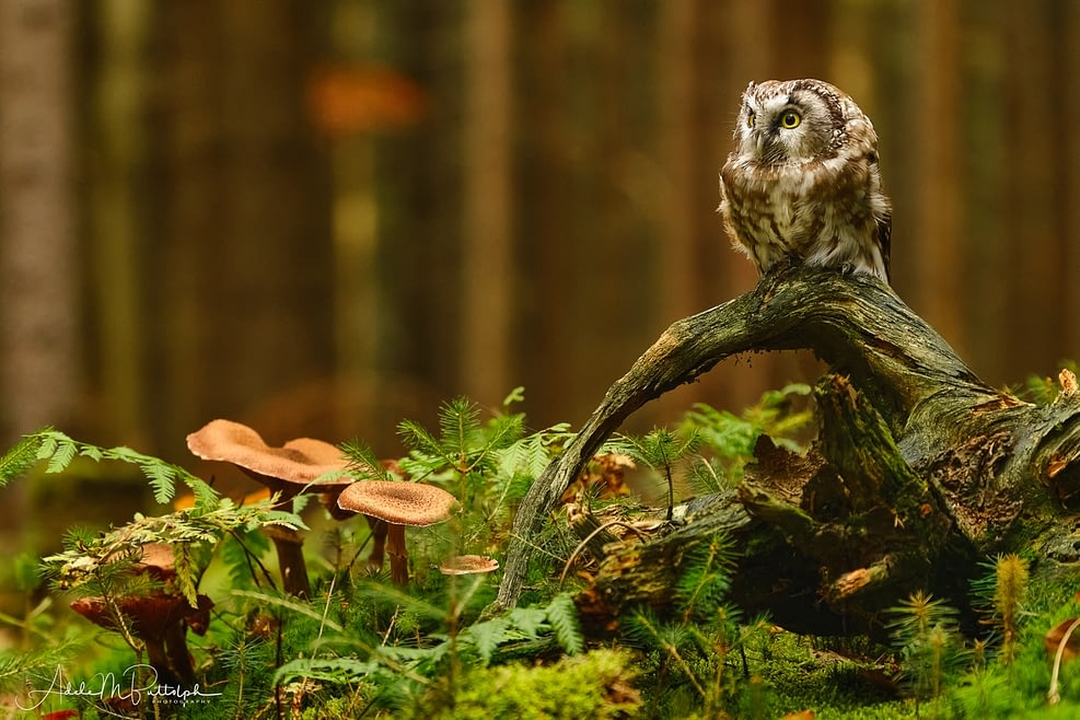 Little Owl by Adele Buttolph
