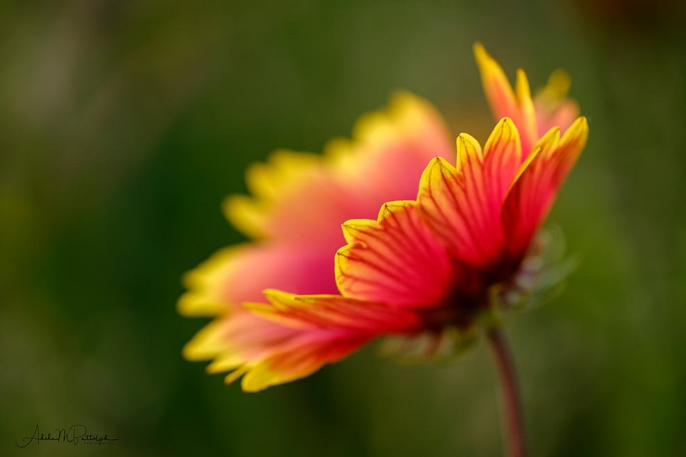 Yellow and red flower petals show with just the tips in focus. Summer in Oregon.