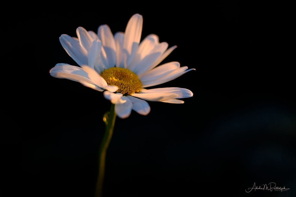 A single shasta daisy showed warm-colored petals at sunset.