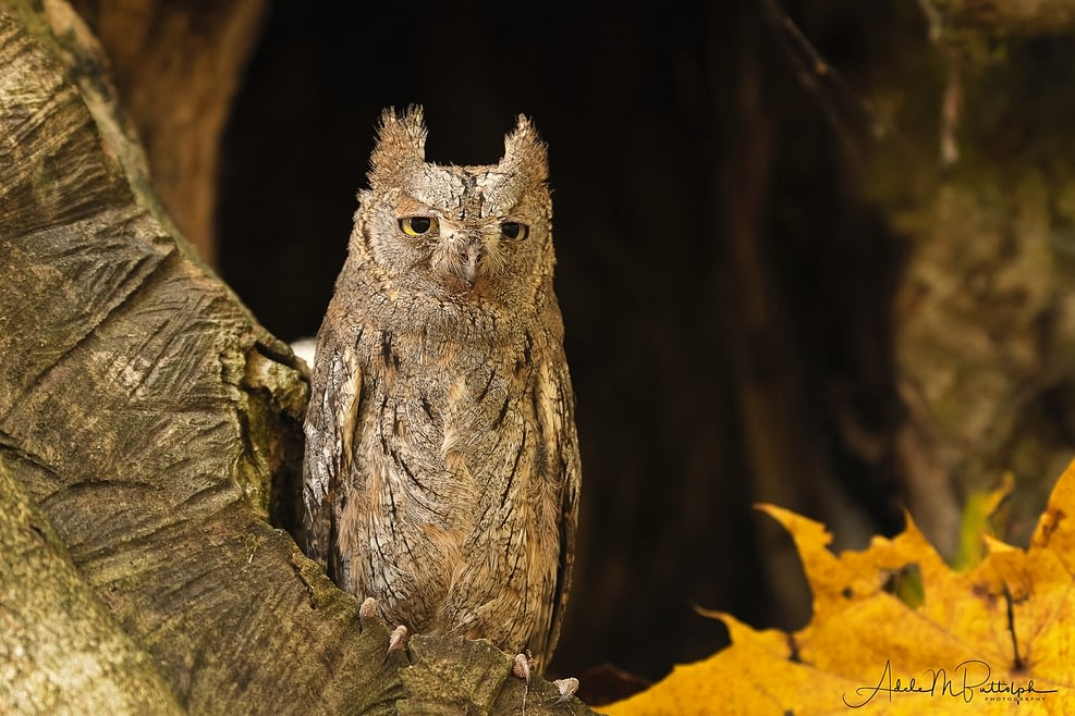 A Eurasian Scops Owl sits in the hollow of a tree during autumn, Czech Republic