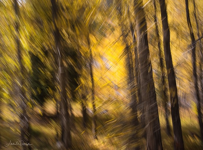 Camera motion was applied to give an abstract impression of autumn color in an aspen grove in Colorado.