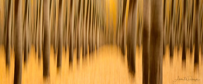 Impressionistic image of trees and golden carpet of leaves during autumn at Boardman Tree Farm, Boardman, Oregon