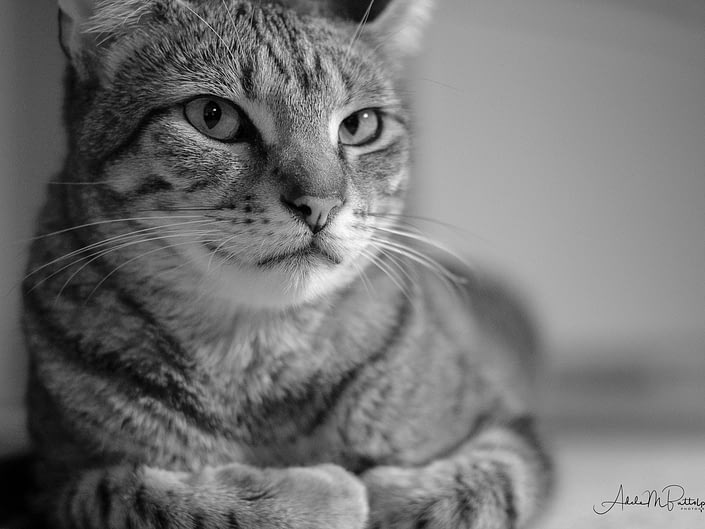 Black and white photograph of a handsome cat looking toward camera.