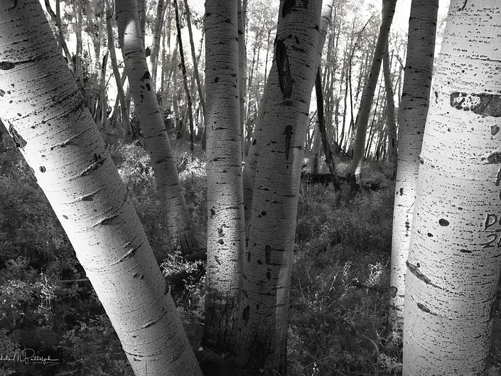 Wide angle black and white photograph of aspen tree trunks shot on Last Dollar Road, Colorado during autumn.