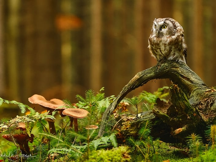 Little Owl and Mushrooms, Czech Republic