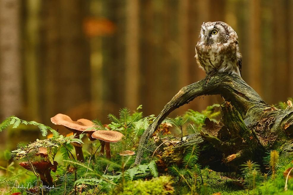 Little Owl and Mushrooms, Czech Republic